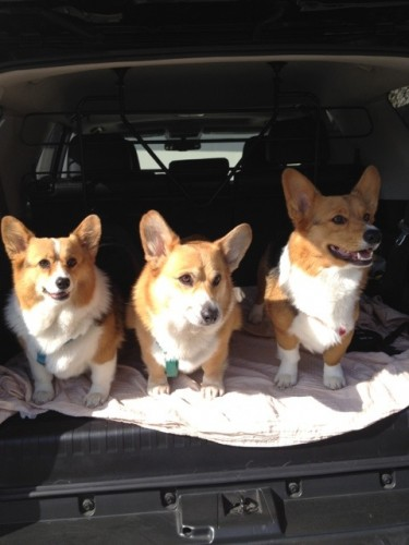 three corgis