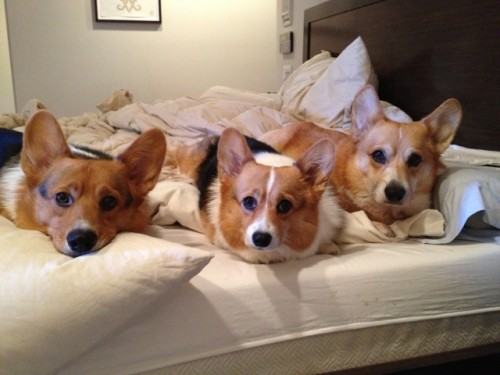 three corgis on the bed