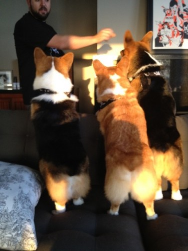 three corgis butts
