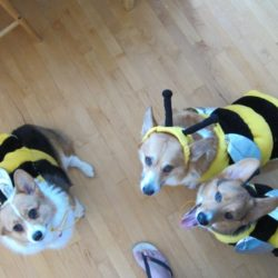 three corgis corgi costume all three corgis