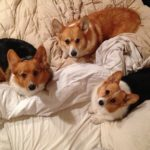 What's all the hype about Corgis?