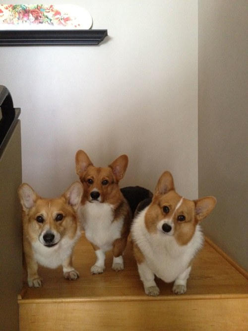 10 reasons why you shouldn't get a Corgi