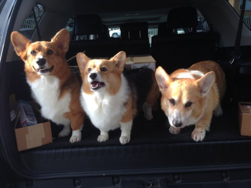 Three Corgis Summer is over