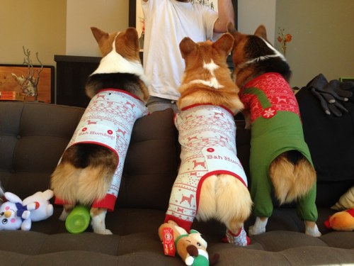 3 corgi butts
