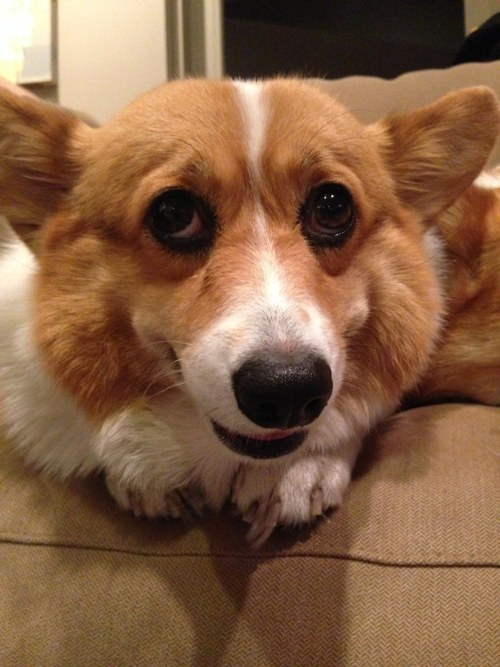 Corgi  Definition of Corgi by MerriamWebster