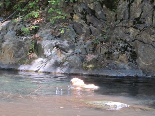 Swimming Corgi