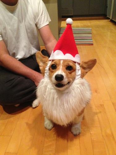 Cupcake Corgi Christmas